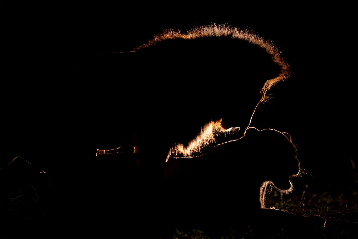 andreas hemb sony alpha 9 backlight picture of a lion and a lioness