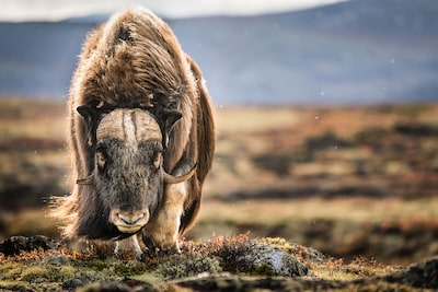 michael schaake sony alpha 7RIII majestic beast in barren landscape stares at photographer