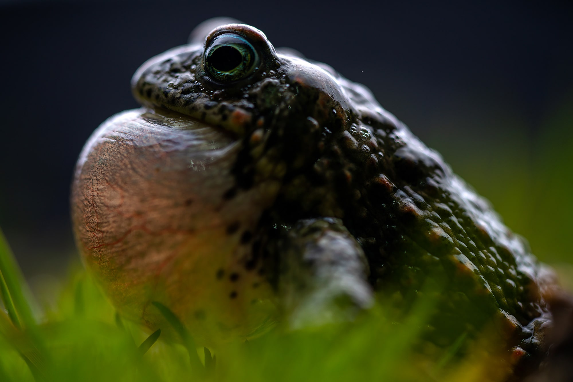 javier aznar sony alpha 7RIII profile of a large mouthed frog