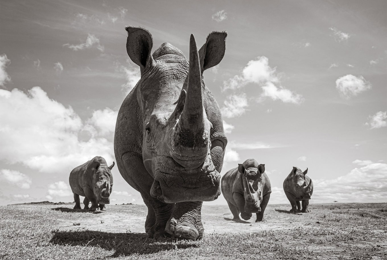 will burrard lucas sony alpha 9 black and white rhinoceros followed by three others