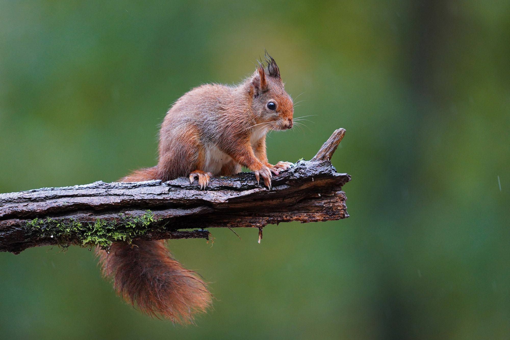gustav kiburg sony alpha 7r4 squirrel on a wet branch
