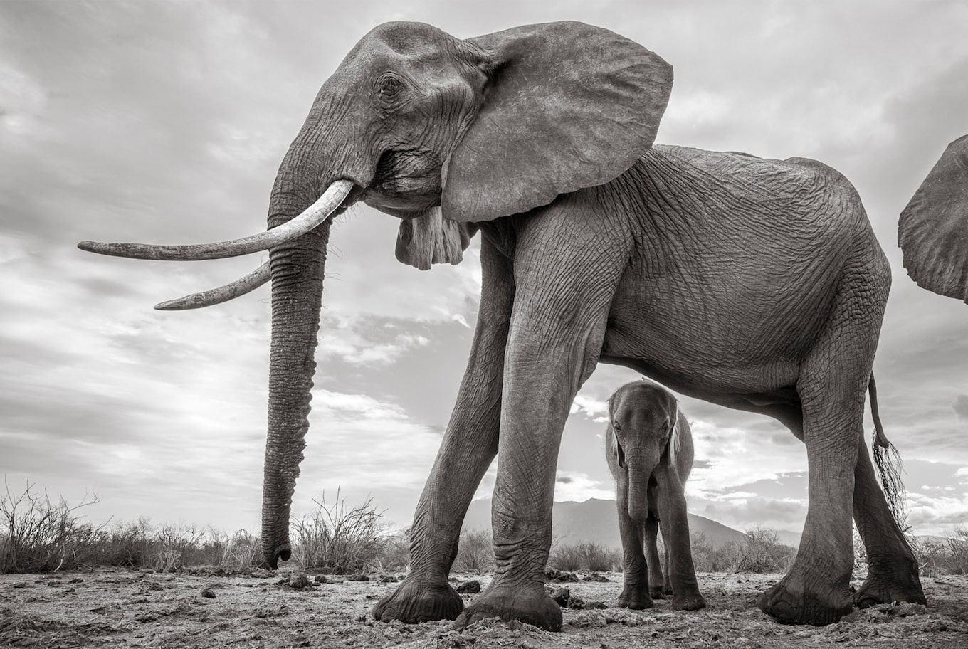 will burrard lucas sony alpha 6500 black and white elephant and calf