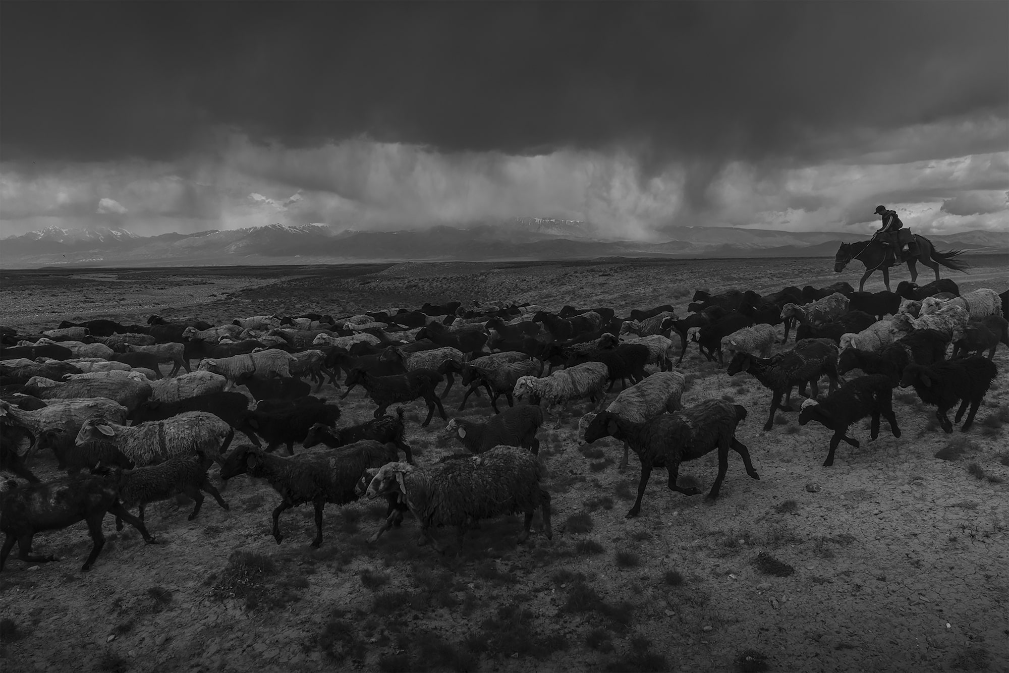 frederik buyckx sony alpha 7RM3 flock of sheep being herded across bleak terrain by a horseback shepherd