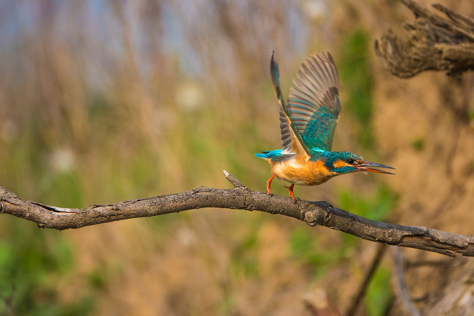 kaisa lappalainen sony rx10IV a kingfisher just about to take flight