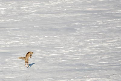 suha derbent sony rx10IV fox jumping in the snow
