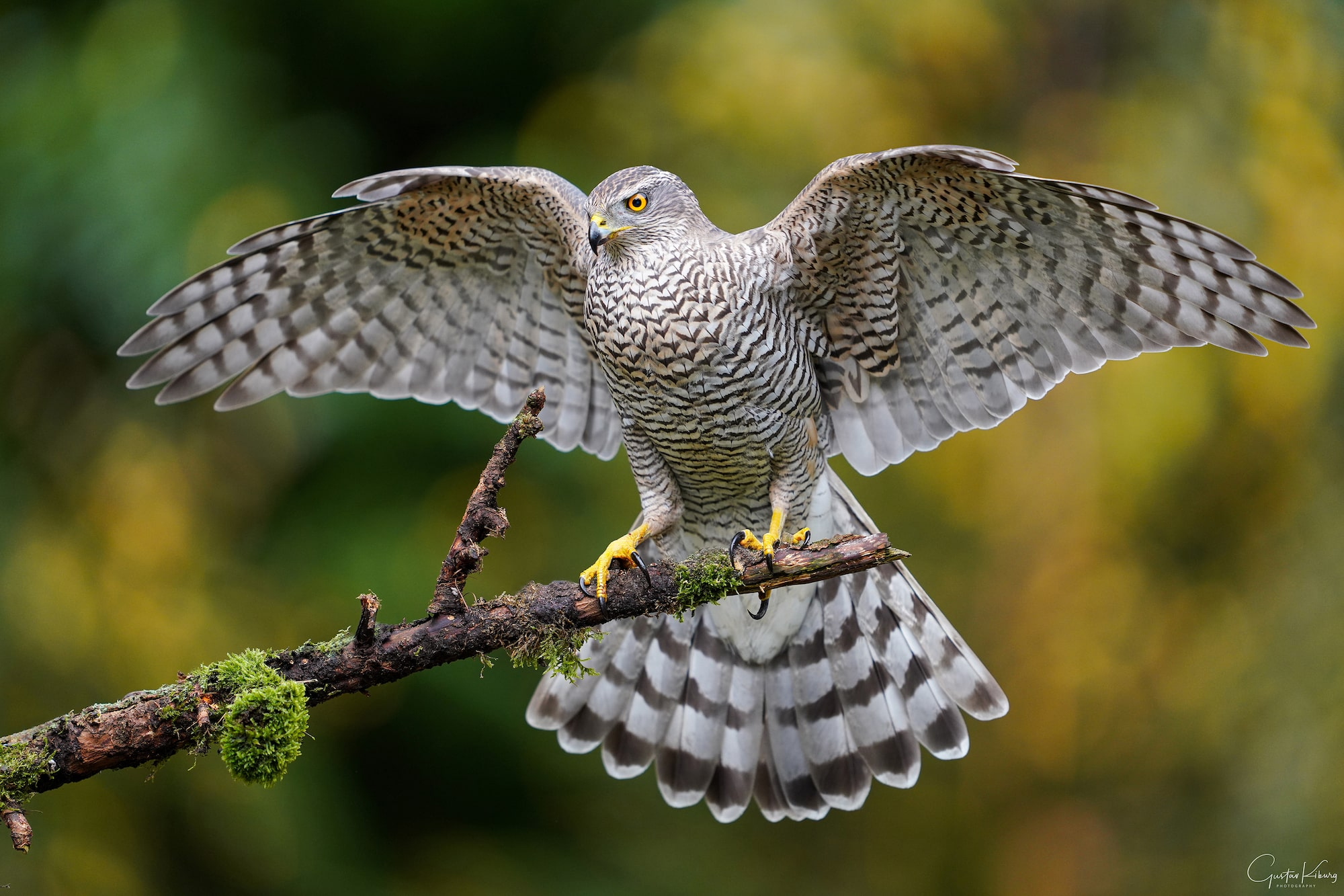 gustav kiburg sony alpha 7r4 a goshawk lands on a branch