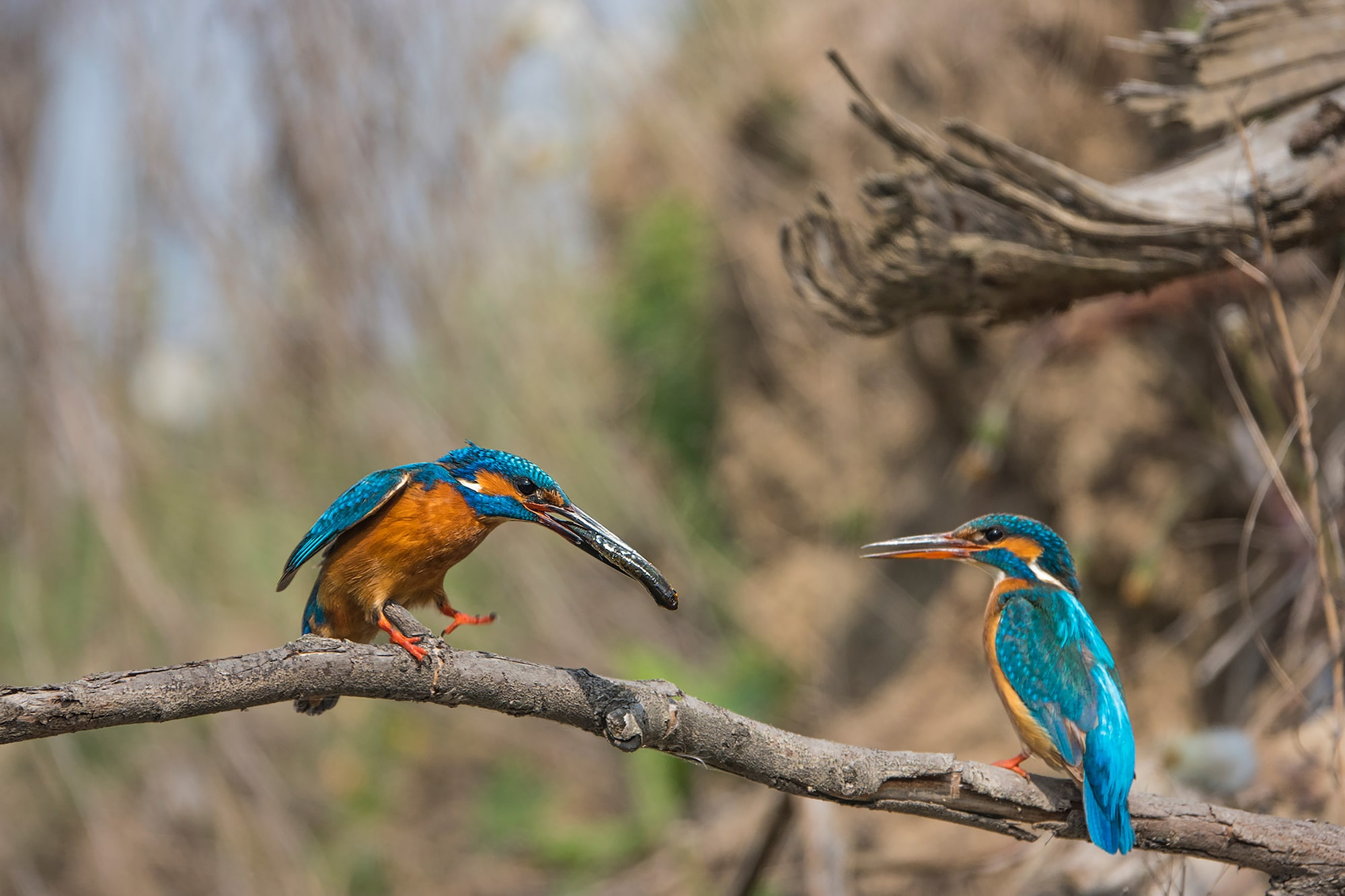 kaisa lappalainen sony rx10IV a pair of kingfishers relaxing on a tree bran